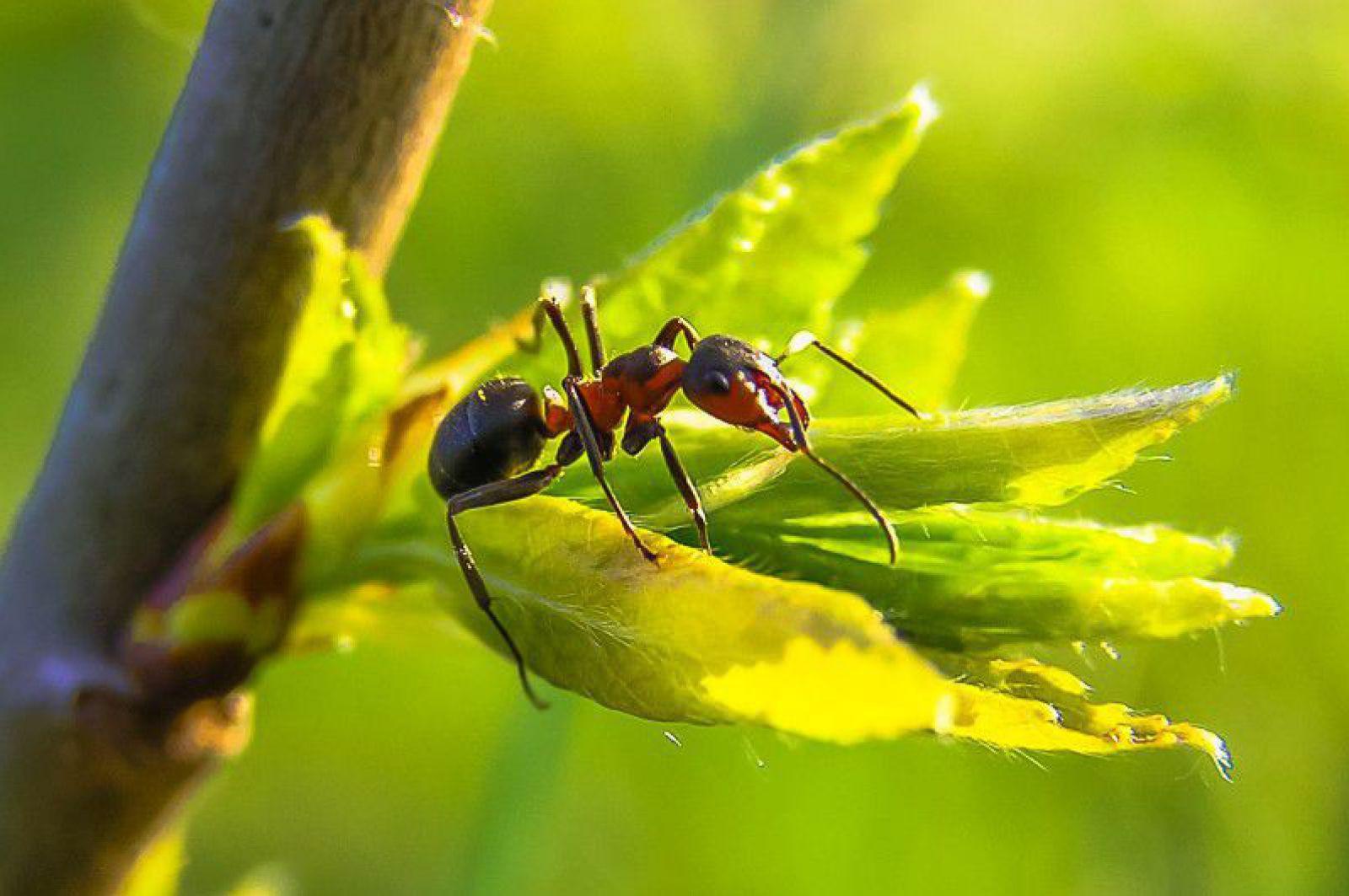 Ameisen Am Kirschbaum